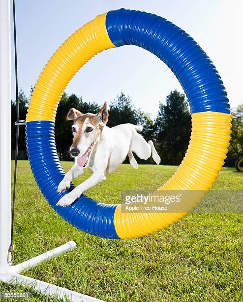 Smooth Fot Terrier jumping through agility tire