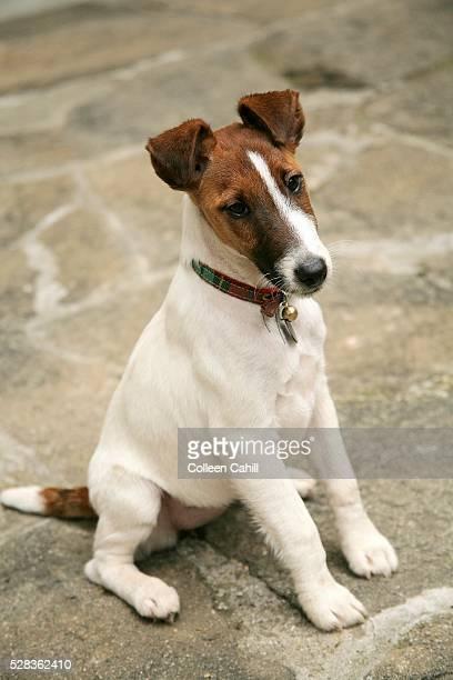 Fox Terrier De Pelo Liso Fotografías e imágenes de stock ...