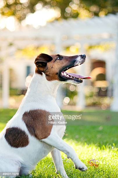 Smooth Fox Terrier lifting paw