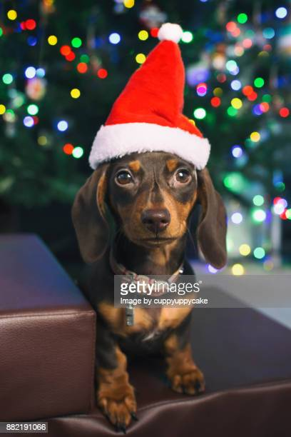 smooth haired miniature dachshund puppy in a santa hat - dachshund christmas stock pictures, royalty-free photos & images