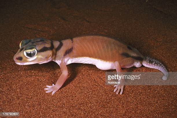 Smooth knobtailed gecko Nephrurus laevissimus female carrying eggs Telfer Great Sandy Desert Western Australia