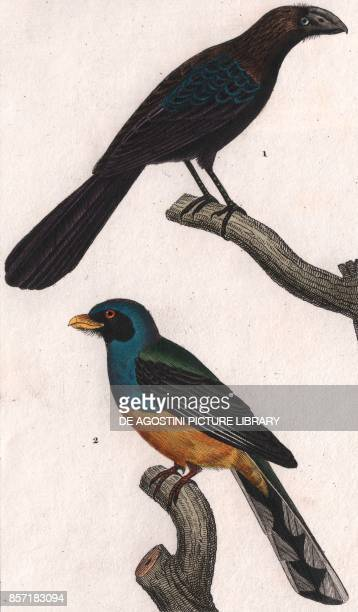 1 Smoothbilled ani 2 Greenbacked trogon colour copper engraving retouched in watercolour 9x15 cm from Dizionario delle scienze naturali compilato da...