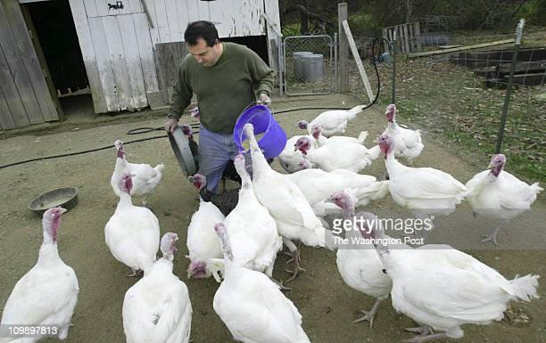 smturkey Mark Gail/TWP Neg #162094 Saint Leonard Md Doug Allen prepares to feed turkeys raised for Thanksgiving Day at the Horsman Farm in Saint...