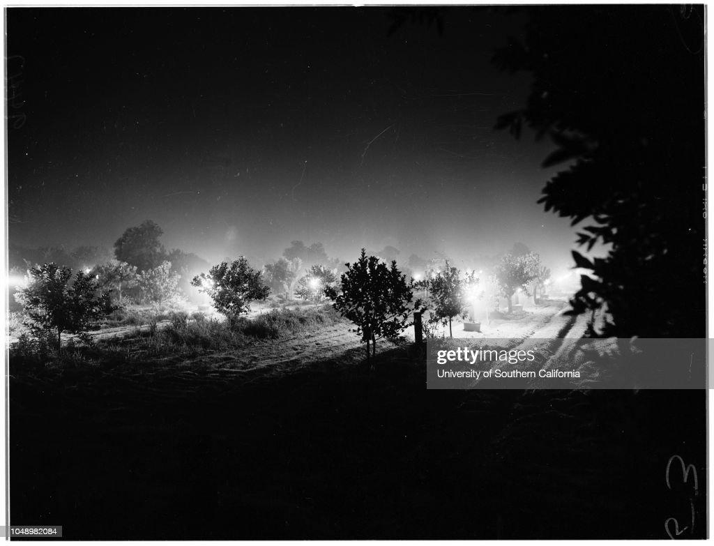 Smudging in Citrus Belt Area, 1952 : News Photo