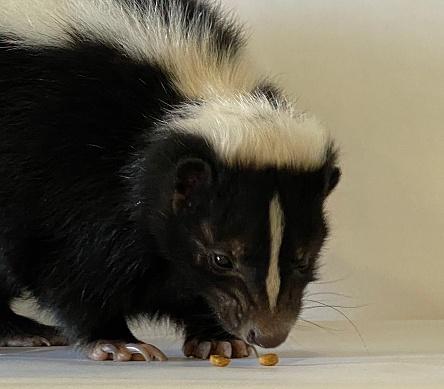 Snacking Skunk 1197531482