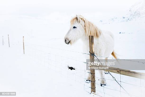 Snaefellsness peninsula, Western Iceland, Europe. White icelandic horse in the winter snow.