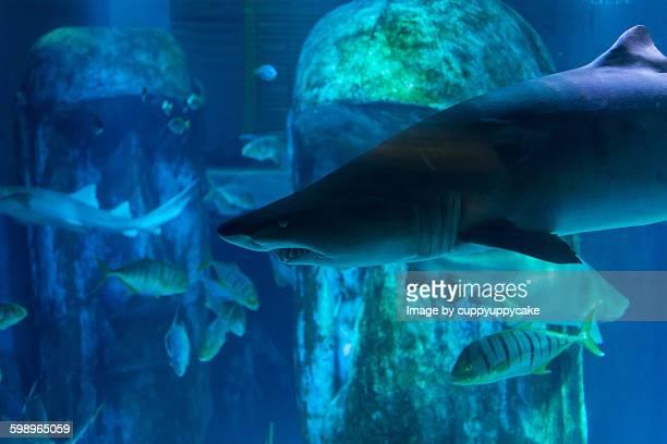snaggletooth shark - london aquarium stock photos and pictures