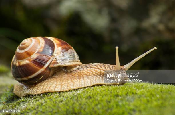 snail achatina fulica moves on the moss - giant african land snail stock pictures, royalty-free photos & images