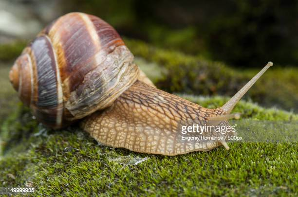 snail achatina fulica moves on the moss - giant african land snail stock photos and pictures