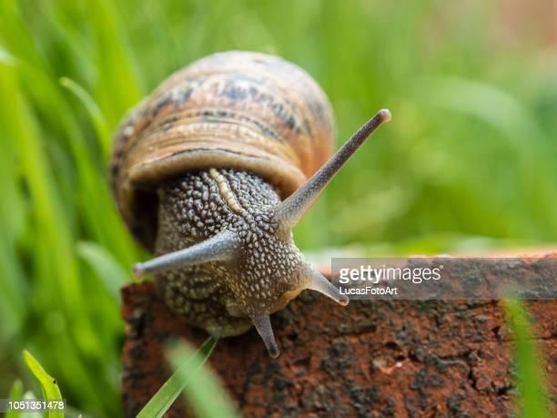snail among the grass - hermaphrodite stock-fotos und bilder
