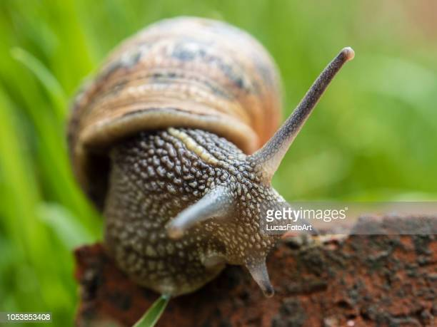 snail among the grass - hermaphrodite photos et images de collection