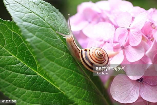 Snail and Hydrangea
