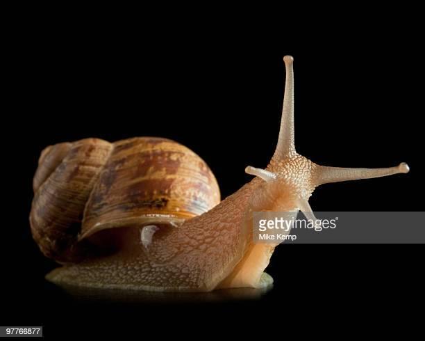 snail and reflection - limace photos et images de collection