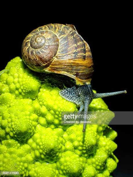 Snail and Romanesco
