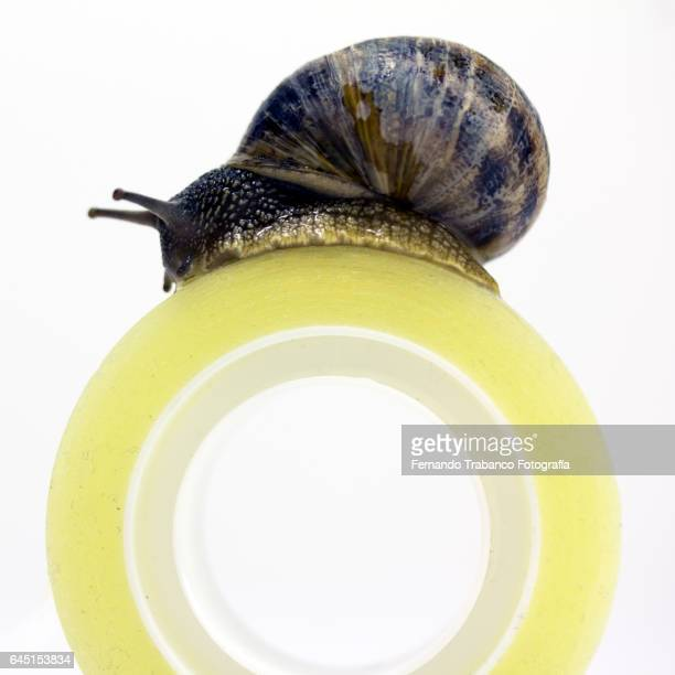 Snail climbs by adhesive tape