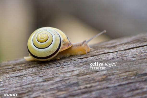 snail crawling on a tree close up - snail stock pictures, royalty-free photos & images