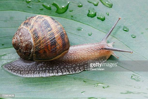 snail crawling on leaf, close up,