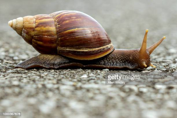 snail crossing - garden snail stock photos and pictures