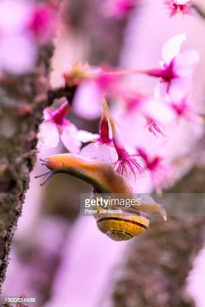 桜の花のカタツムリ - 桜吹雪 ストックフォトと画像