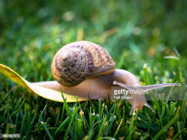 snail in grass - snail stock pictures, royalty-free photos & images