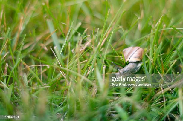 snail in the grass - sursly stock pictures, royalty-free photos & images