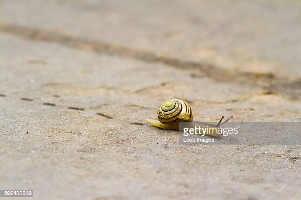 A snail leaves footprints as it crawls over a paving stone
