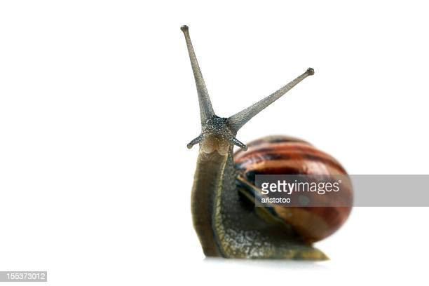 Snail Looking at Camera. Isolated on White