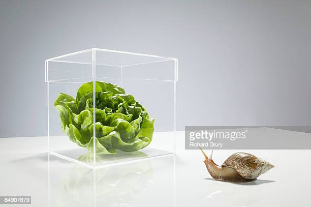 snail looking at lettuce in transparent box - protection stock pictures, royalty-free photos & images