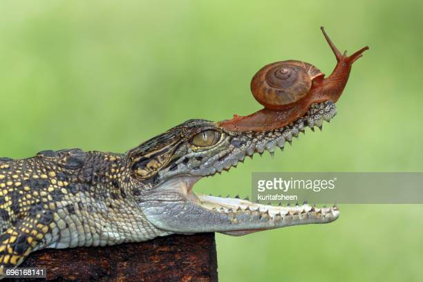 Snail on a crocodile, Banten, West Java, Indonesia