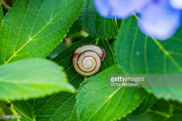 a snail on a leaf of hydrangea - 六月 ストックフォトと画像