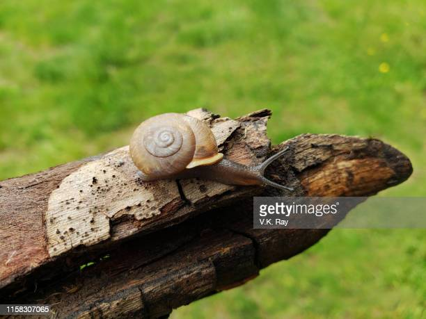 snail on a log. - freshwater stock pictures, royalty-free photos & images