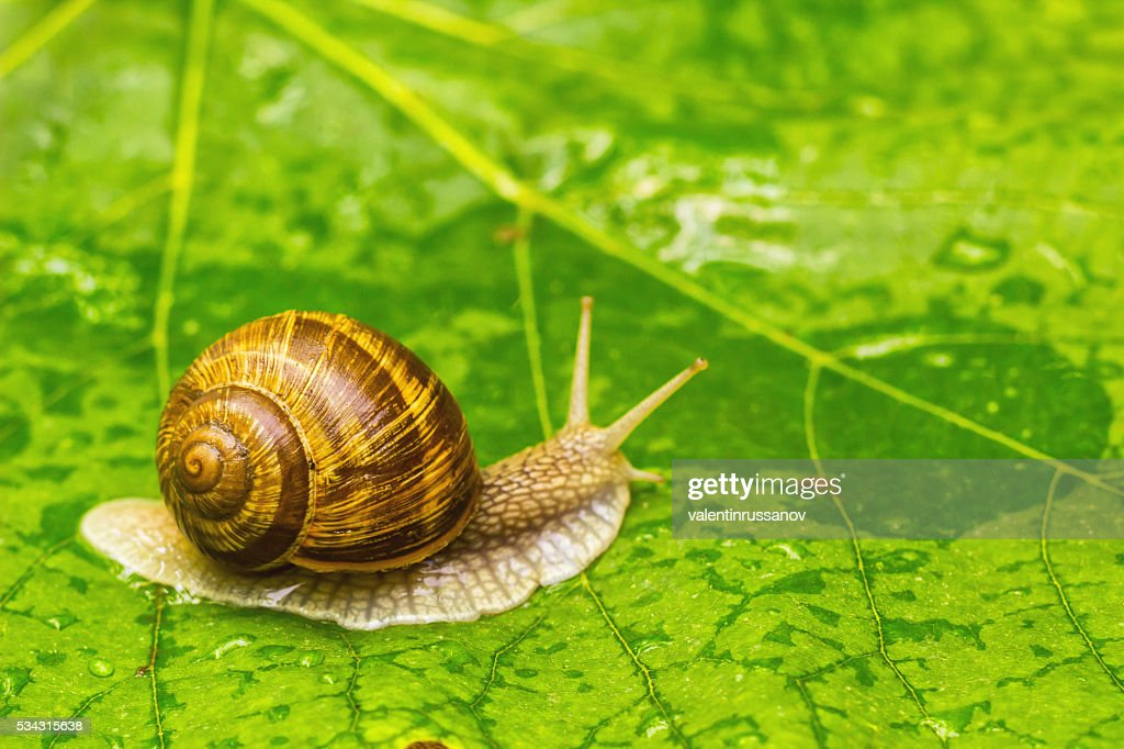 Snail on green leaf : Stock Photo