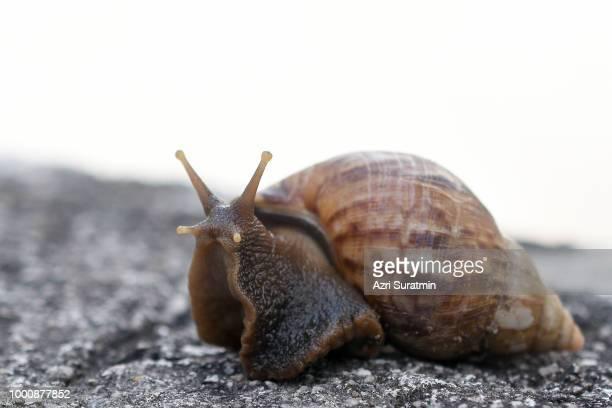 Snail ( Achatina fulica)