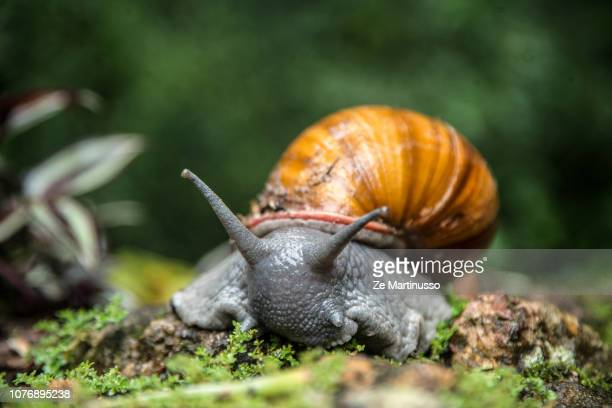 snail - giant african land snail stock pictures, royalty-free photos & images
