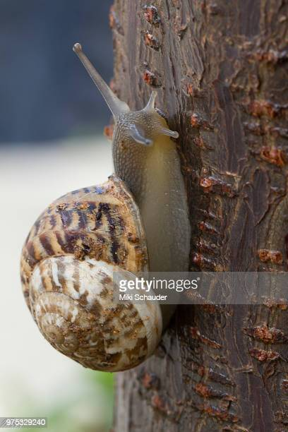 snail - garden snail stock photos and pictures