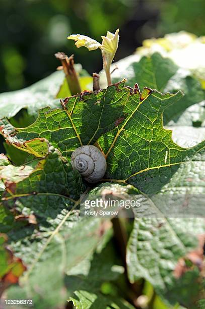 A snail rests on a grape leaf during the Champagne Nicolas Feuillatte Vendanges 2011 at the wine processing facility on August 31 2011 in Epernay...