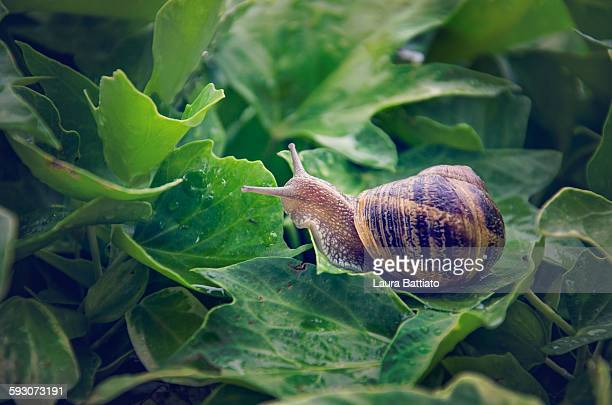 a snail walking through the leaves - garden snail stock photos and pictures