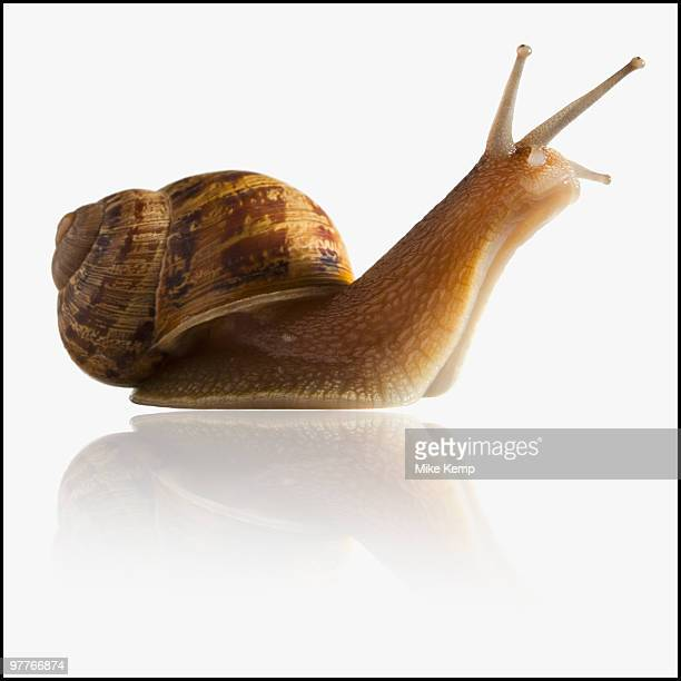 Snail with head out of shell