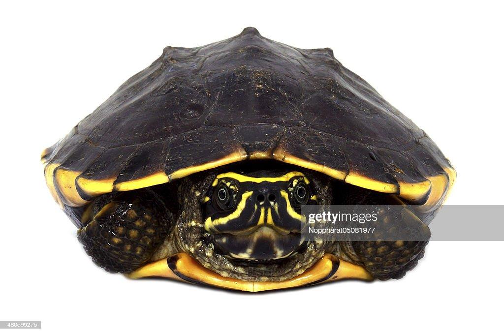 Snail-eating turtle on white background (Malayemys macrocephala) : Stock Photo
