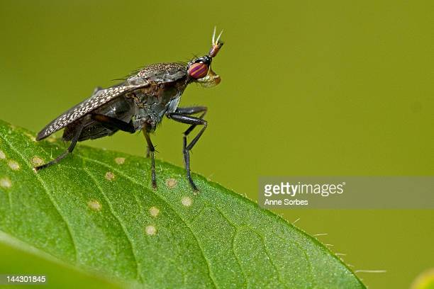 snail-killing fly - marginata stock pictures, royalty-free photos & images