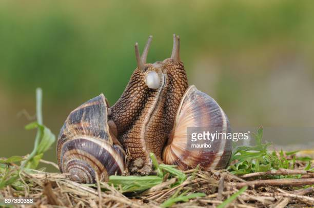 snails in coupling - snail stock photos and pictures