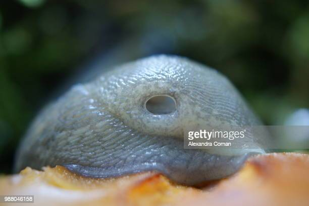 """a snails """"nose - limace photos et images de collection"""