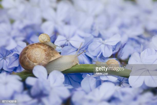 snails on a jasmine - snail stock photos and pictures