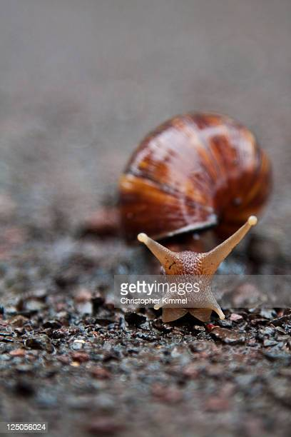 snails pace - giant african land snail stock photos and pictures