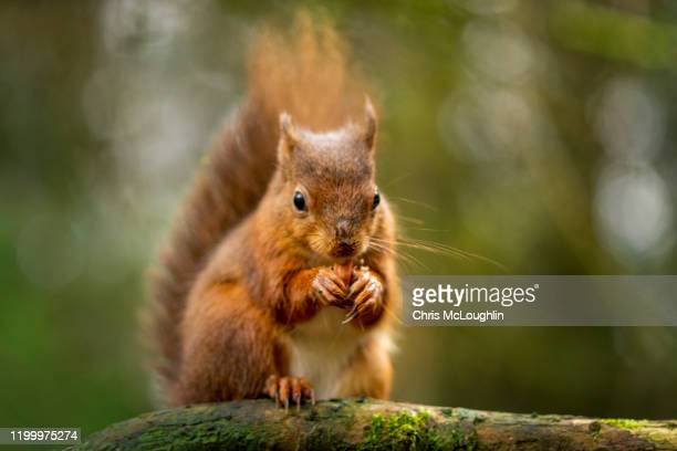 snaizeholme red squirrel trail - squirrel stock pictures, royalty-free photos & images