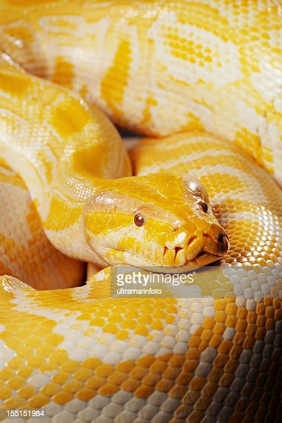 snake - albino burmese python - burmese python stock pictures, royalty-free photos & images
