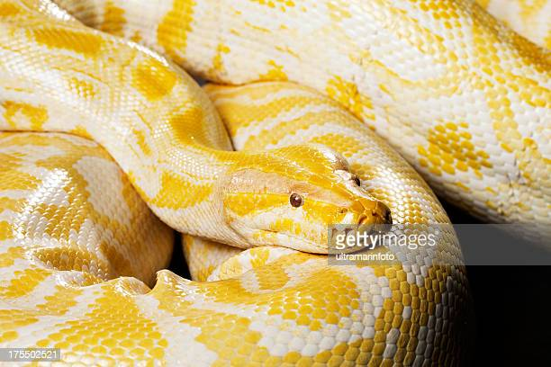 snake - albino burmese python - indian python stock pictures, royalty-free photos & images