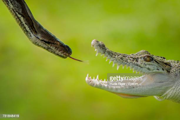 snake and crocodile fighting with each other - crocodile photos et images de collection