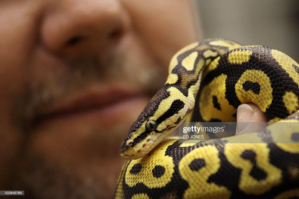 Snake breeder Ken Gubersky of Canada holds a Ball Python for