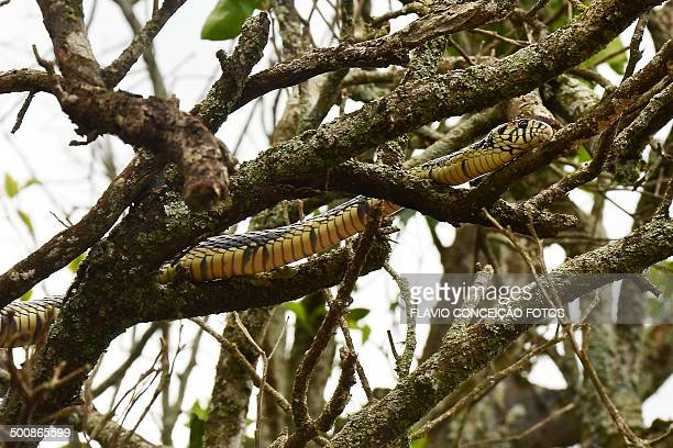 snake caninana - chicken snake stock pictures, royalty-free photos & images
